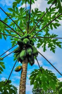 papaya liecba