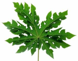 Listy z papáje